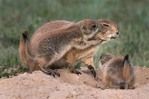 Lovable prairie dogs caught hugging in sequence of ...