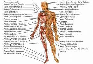 El Cuerpo Humano Y Sus Partes