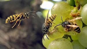 Was Tun Gegen Wespen Im Kirschlorbeer : ein hauen und stechen die wespen sind los n ~ Lizthompson.info Haus und Dekorationen