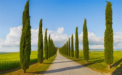 tuscan tree types adding class and beauty to any landscape italian cypress