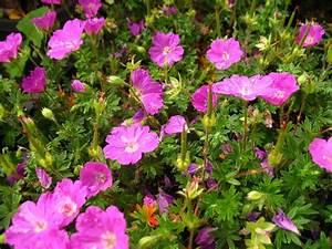 Pflanzen Bei Lidl : storchenschnabel 3 pflanzen rot bl hend ~ A.2002-acura-tl-radio.info Haus und Dekorationen