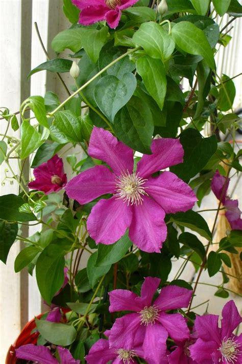 vines flowering flowering vines how to choose plant and grow vines hgtv
