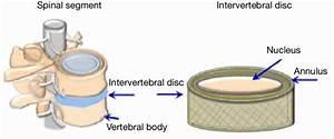 Diagram Of The Human Intervertebral Disc