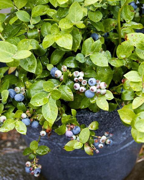 growing blueberry plants in pots growing blueberries in containers garden tips