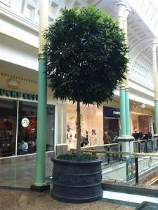 Tübingen Shopping Center : 4m specimen ficus longifolia in shopping centre indoor landscaping pinterest shopping ~ Buech-reservation.com Haus und Dekorationen