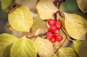 Magnolie Blätter Erfroren : magnolie bekommt gelbe bl tter was ist zu tun ~ Lizthompson.info Haus und Dekorationen