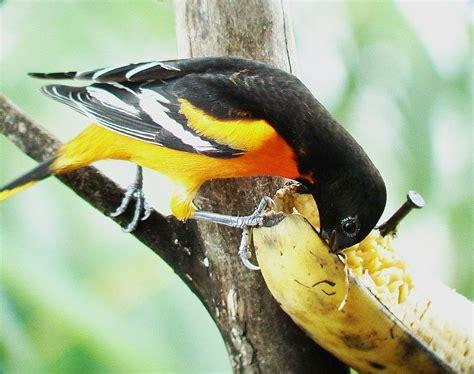baltimore orioles feeders costa rica feeder birds