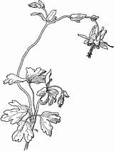 Columbine Coloring Pages Flowers Flower Designlooter Recommended Drawings Printable sketch template