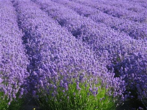 growing lavender the total guide to growing harvesting using lavender