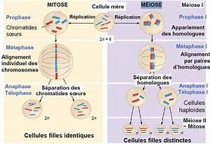 Difference Entre Catalyse Et Pyrolyse : mitose meiose difference images ~ Premium-room.com Idées de Décoration