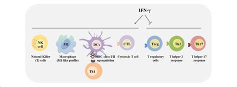 immunomodulatory effects  interferon gamma ifn