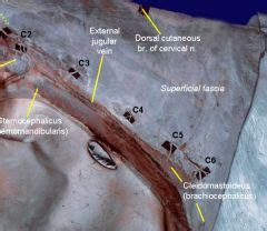anatomy ii neck   flashcards cramcom