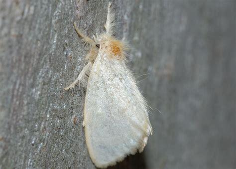 white tussock moth euproctis melanosoma