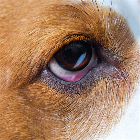 dogs  pink eye  humans symptoms  treatment