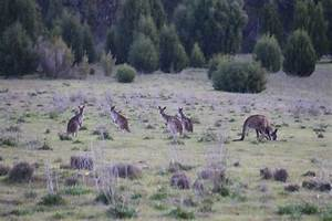 Bigger Appetite For Kangaroo Meat Needed To Rein In