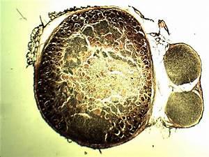Golgi apparatus microscope image