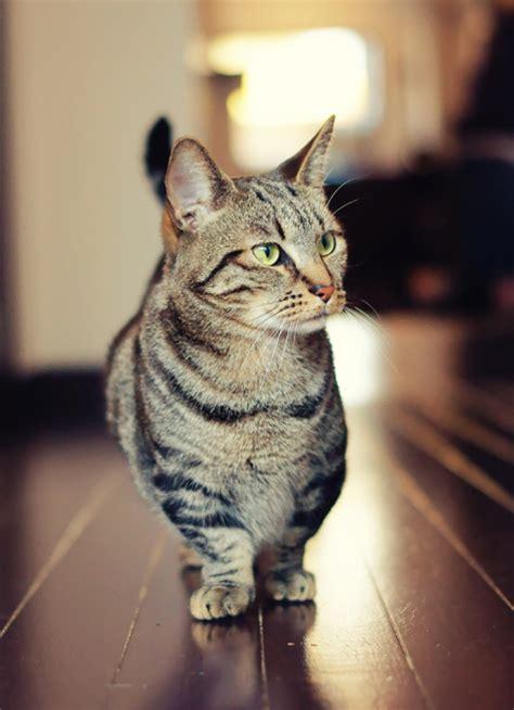 munchkin cat for munchkin