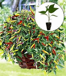 Paprika Pflanzen Abstand : h nge chili volante hot red 1a jungpflanzen baldur garten ~ Whattoseeinmadrid.com Haus und Dekorationen