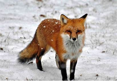 Fox Animals American North Wildlife Fauna Dog