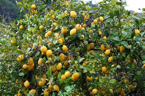 cuisine rustique citronnier planter et entretenir ooreka