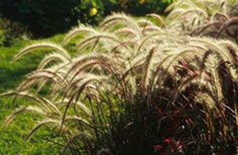 pennisetum eaton mediterranean palette grasses on pinterest water garden plants and ornamental grasses