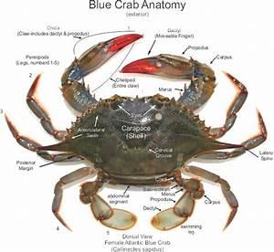 Blue Crab Diagram