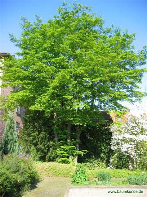 hainbuche carpinus betulus hainbuche carpinus betulus habitus bestimmen hainbuche