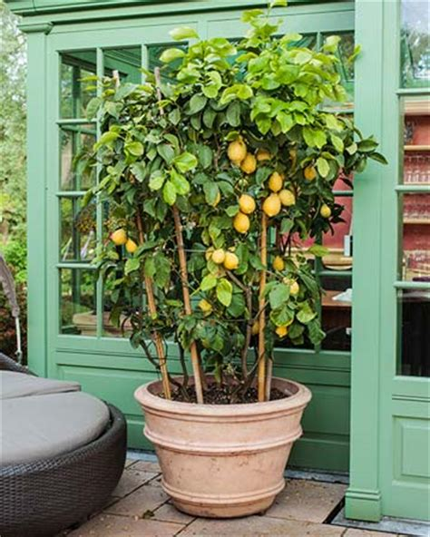 planter citronnier en pot citrus trees in pots