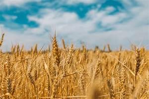 The, Fields, Are, White, Unto, Harvest