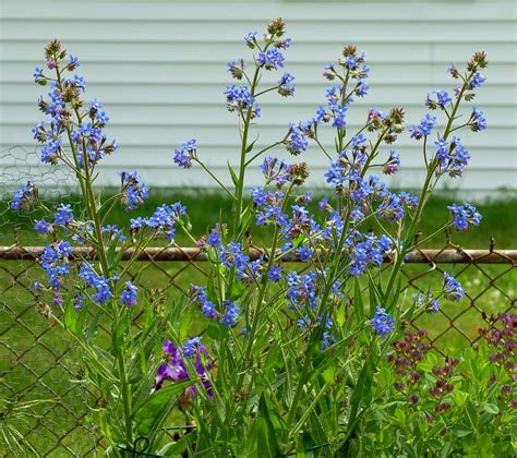 italian bugloss tall perennial  true blue flowers