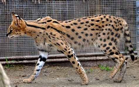 Le Chat Savannah, Une Nouvelle Race De Chat