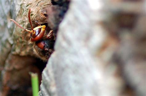 fotos hornissen fotogalerie