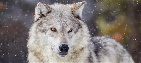 interesting facts  wolves factretrievercom