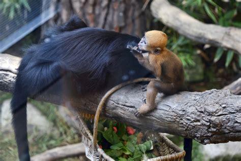 baby monkeys swing  view  los angeles zoo