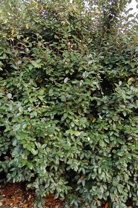 green shrubs elaeagnus evergreen shrub mellen plant palette pinterest shrubs evergreen and white flowers