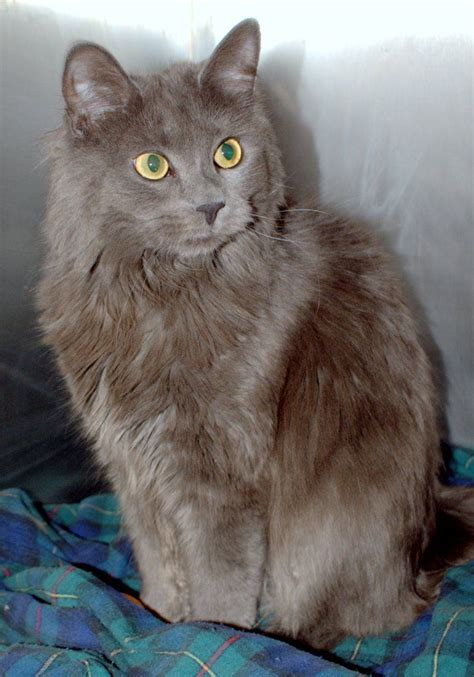 grey long hair cat breeds gray cat cortneykoby