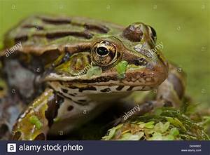 Leopard frog (Rana pipiens), New York Stock Photo, Royalty ...