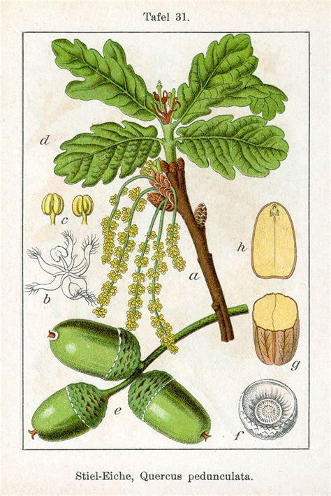 oaks hawkmoth