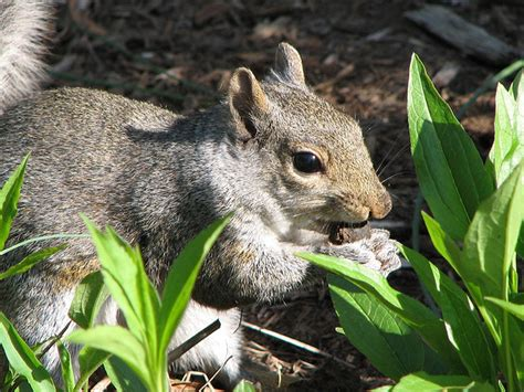 keep squirrels from bulbs how to prevent squirrels from tulip bulbs 28 images how to protect garden bulbs from