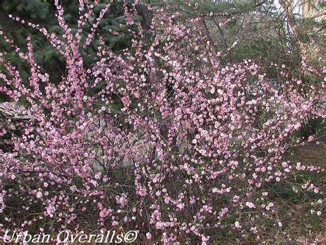 Perfect In Pink Flowering Almond • Urban Overalls