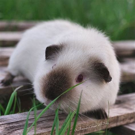 himalayan guinea pig  complete care guide home decor