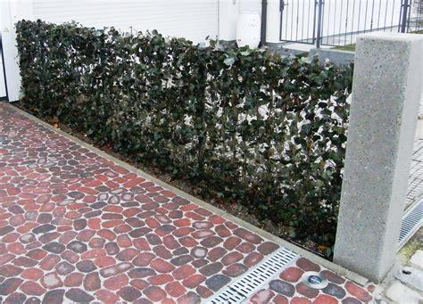 Efeu Hecke Co Sichtschutz Im Garten by Baustelle Garten Bronder Hecke Am Laufenden Meter