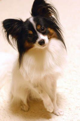 papillon small dog breeds top dog directory