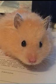 Best Teddy Bear Hamster - ideas and images on Bing | Find