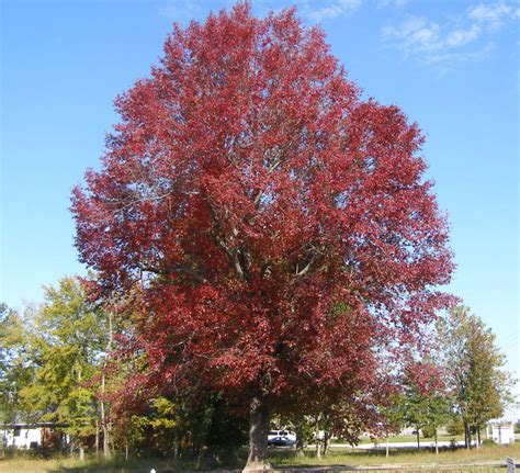 black gum tree sbs enewsletter oct 09 for fall color go native
