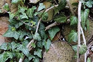 Wie Schnell Wächst Efeu : zimmerefeu efeu als zimmerpflanze hedera helix pflege ~ Orissabook.com Haus und Dekorationen