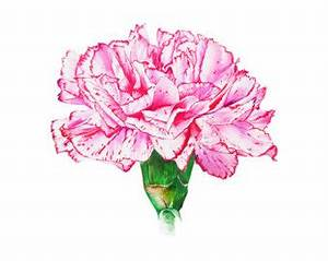 Carnation clipart pink carnation - Pencil and in color