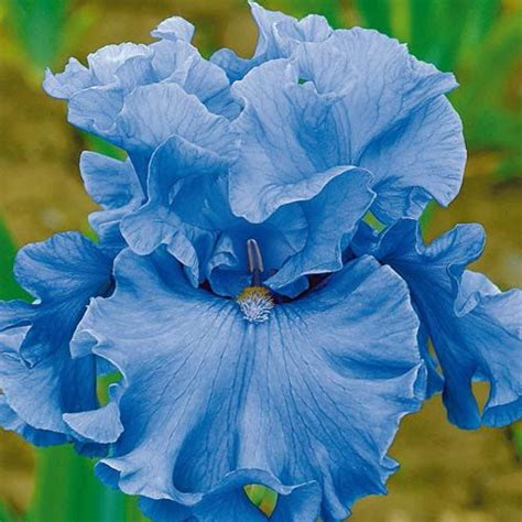 image gallery teal iris