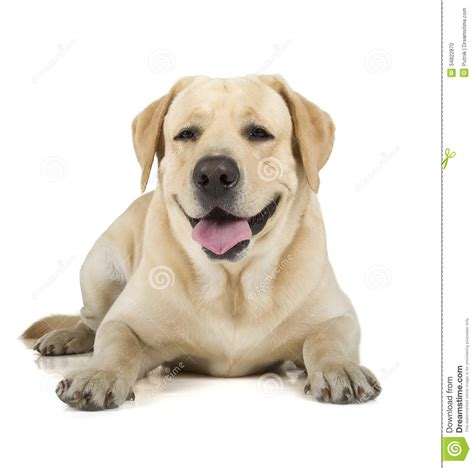Yellow Labrador Retriever Smiling Stock Photo - Image ...