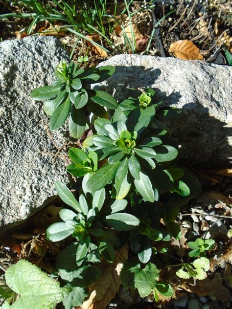 euphorbia ground cover top 28 euphorbia ground cover online plant guide euphorbia diamond frost diamond lacy